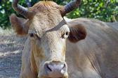 友好的棕色母牛 — 图库照片
