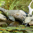 Turtles on a Log — Stock Photo