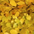 Stock Photo: Yellow leaves .