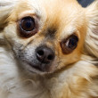 Curious Chihuahua — Stock Photo