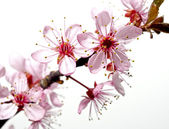 Blossoming tree branch with pink flowers — Stock Photo
