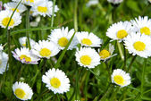 Green Grass Wild Daisy Flowers — Stock Photo