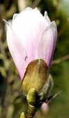 Flor del árbol de magnolia en la primavera. — Foto de Stock