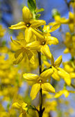 Yellow spring flowers forsythia — Stock Photo