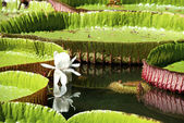 Water-lily, Nenuphar — Stock Photo