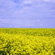 Stock Photo: Oilseed Rape Field
