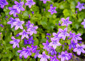 Wild spring violets flower, — Stock Photo