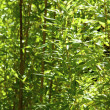 Green bamboo forest  — Stockfoto