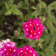 Verbena flowers — Stock Photo #20320149