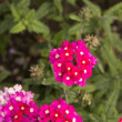 Verbena flowers — Stock Photo