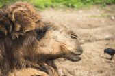 Red camel right — Stock Photo