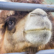 Stock Photo: Camel of fence.
