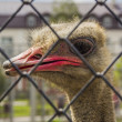 Stock Photo: Ostrich close-up
