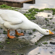 White Goose drinks wate — Stock Photo #30191589