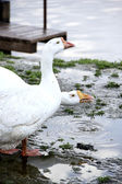 Two geese drinking water — Stock Photo