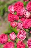 Flowers roses in the garden. — Stock Photo