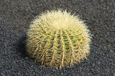 Very Prickly Cactus — Stock Photo