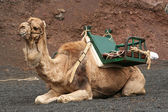 Lone Camel — Stock Photo