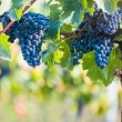 Red vine grapes ready for harvestation - Stockfoto