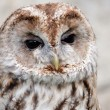 Brown and white owllooking sideways — Stock Photo
