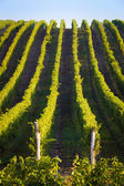 Vertical shot of central european vineyard — Stock Photo