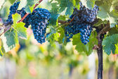 Red vine grapes ready for harvestation — Stock Photo