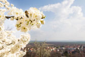Flowering tree with bee and european city behind — Stock Photo