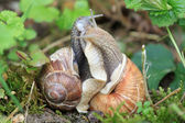 Two snails in tight connection — Stock Photo