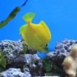 Yellow Tang  - tropical aquarium fish - Stock Photo