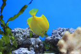 Yellow Tang - tropical aquarium fish — Stock Photo