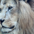 Portrait of beautiful african lion — Stock Photo