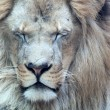 Large African lion winks — Stock Photo