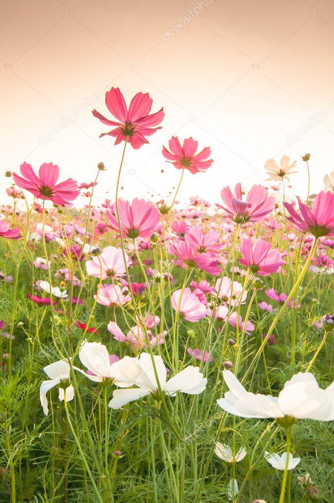 Фотообои Cosmos flowers in sunset