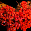 Rowan. rowanberry. rowan-tree. sorb. wild ash — Stock Photo