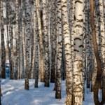 Winter birch — Stock Photo #17352119