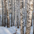 Stock Photo: Winter birch