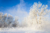 冬季桦木 — 图库照片
