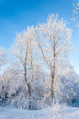 Vidoeiro de inverno — Foto Stock
