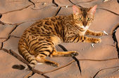 Cat on a background of a crack in the clay — Stock Photo