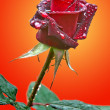 Rose — Stock Photo #18154903
