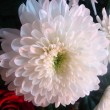 Chrysanthemum — Stock Photo #21668655