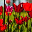 Tulip — Stock Photo #25327889