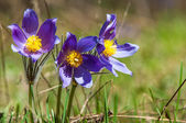 Pulsatilla — Stock Photo