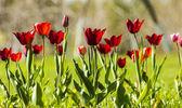 Tulipa com bokeh. — Fotografia Stock