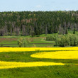 Yellow field rapeseed in bloom — Stock Photo