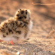 Stock Photo: Gull chick