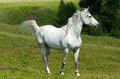Horse, hoss, prad — Stock Photo
