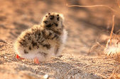 Gull chick — Stock Photo