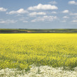 Rapeseed field. Yellow flowers. The bright sun. blue sky — Stock Photo