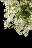 Branch and blossom of bird cherry (Prunus padus). Closeup — Stock Photo